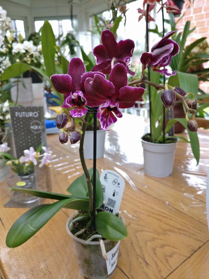 nouveaux phalaenopsis Img_2022