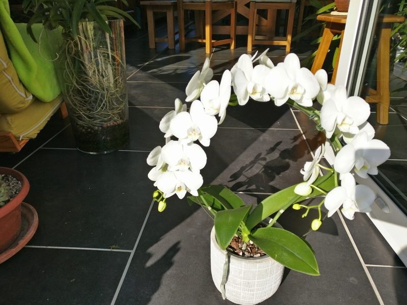 Phalaenopsis blanc Img_2030