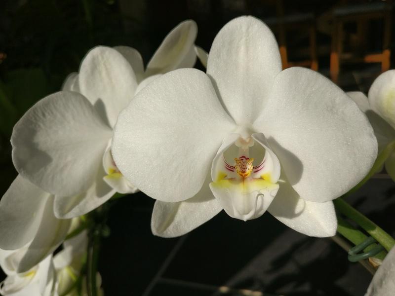 Phalaenopsis blanc Img_2031