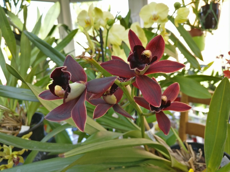 cymbidium cali night geyserland Img_2034