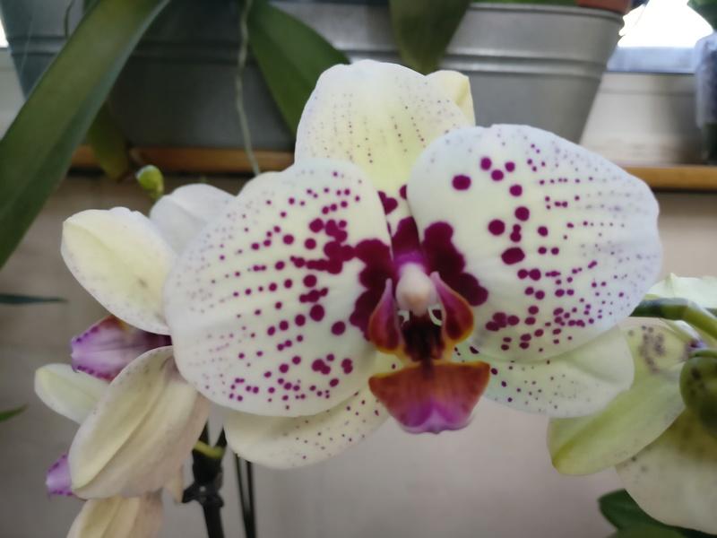 nouveau phalaenopsis hybride Img_2035