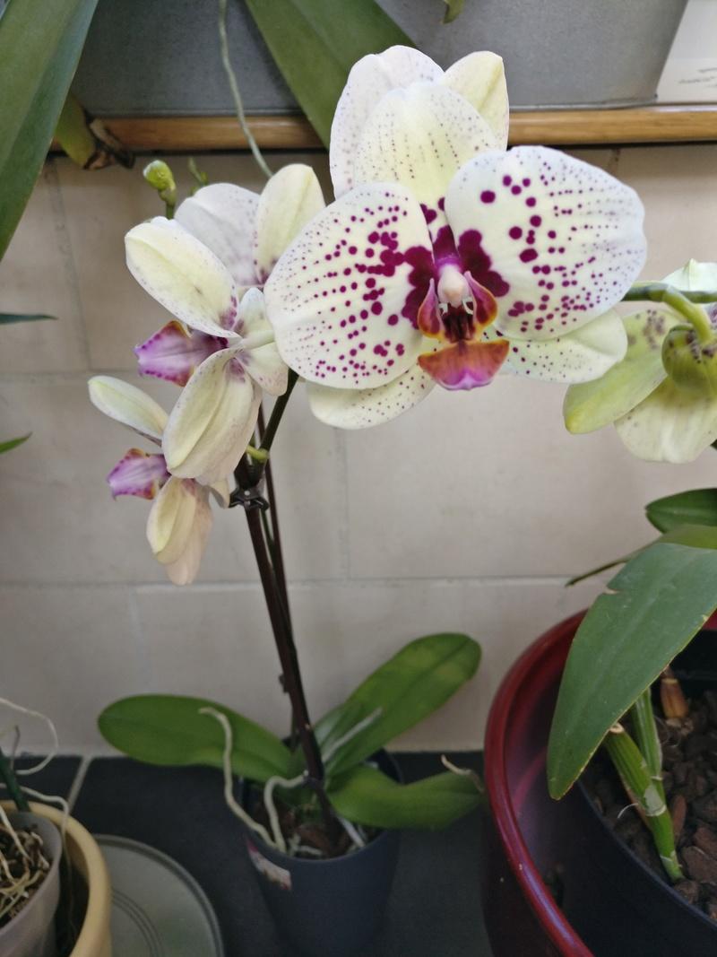 nouveau phalaenopsis hybride Img_2036