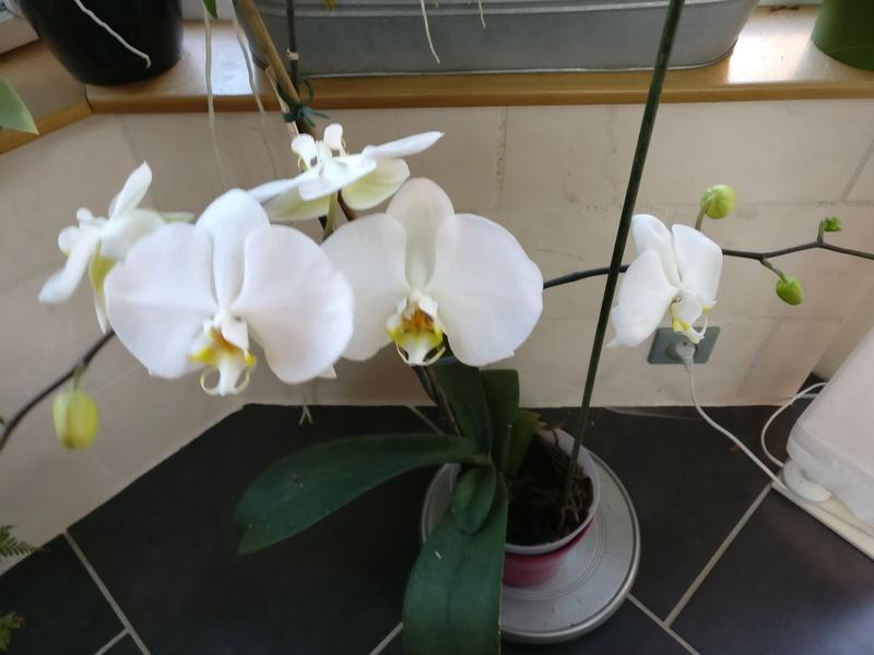 phalaenopsis blanc a fleurs enooooooooormes - Page 4 Img_2037