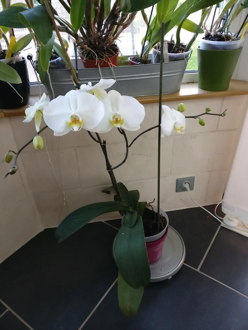 phalaenopsis blanc a fleurs enooooooooormes - Page 4 Img_2038