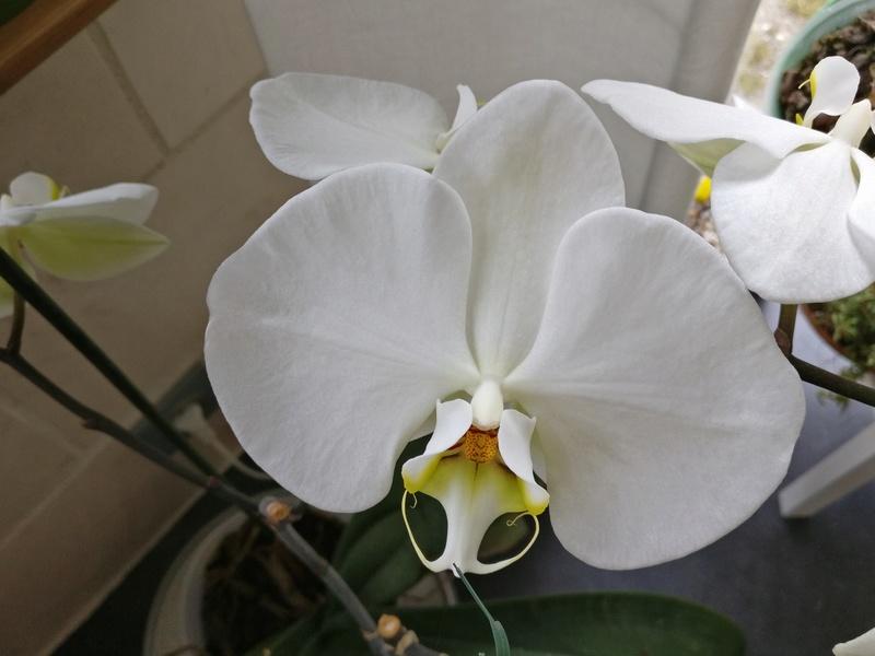 phalaenopsis blanc a fleurs enooooooooormes - Page 4 Img_2039