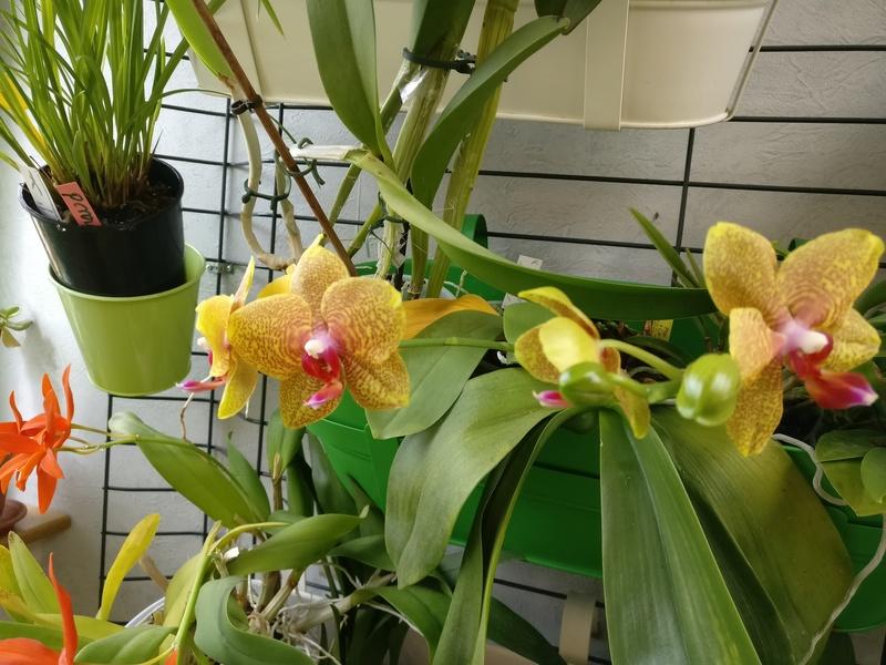 phalaenopsis samt und seide x carmelas brite lites Img_2042