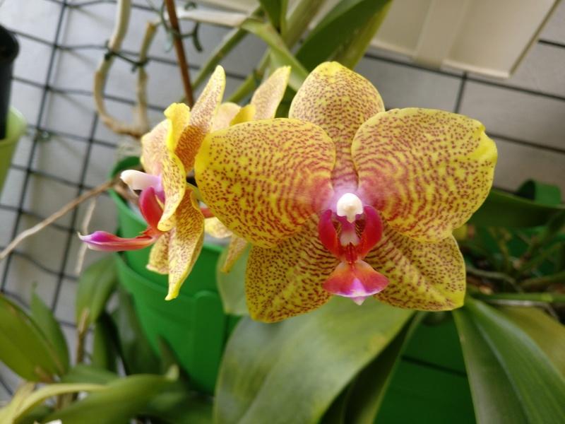 phalaenopsis samt und seide x carmelas brite lites Img_2043