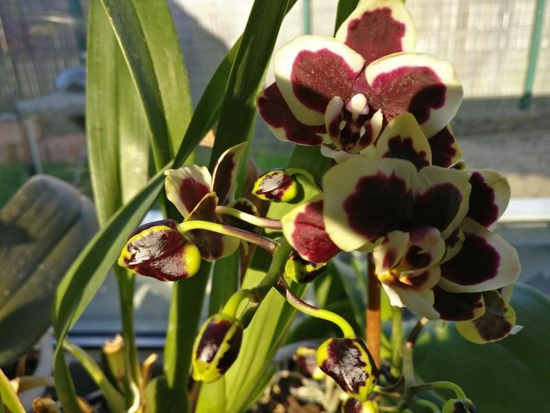phalaenopsis costarica - Page 2 Img_2044
