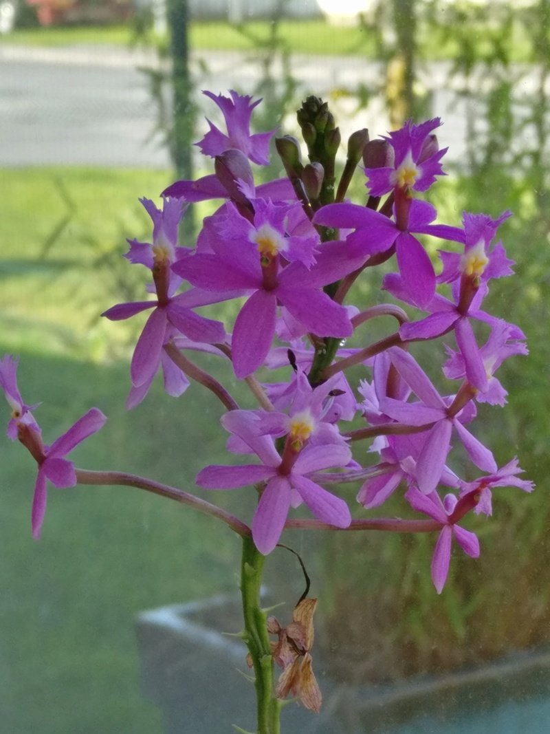 epidendrum ibaguense - Page 3 Img_2047