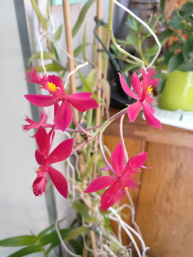 epidendrum ibaguense - Page 3 Img_2048