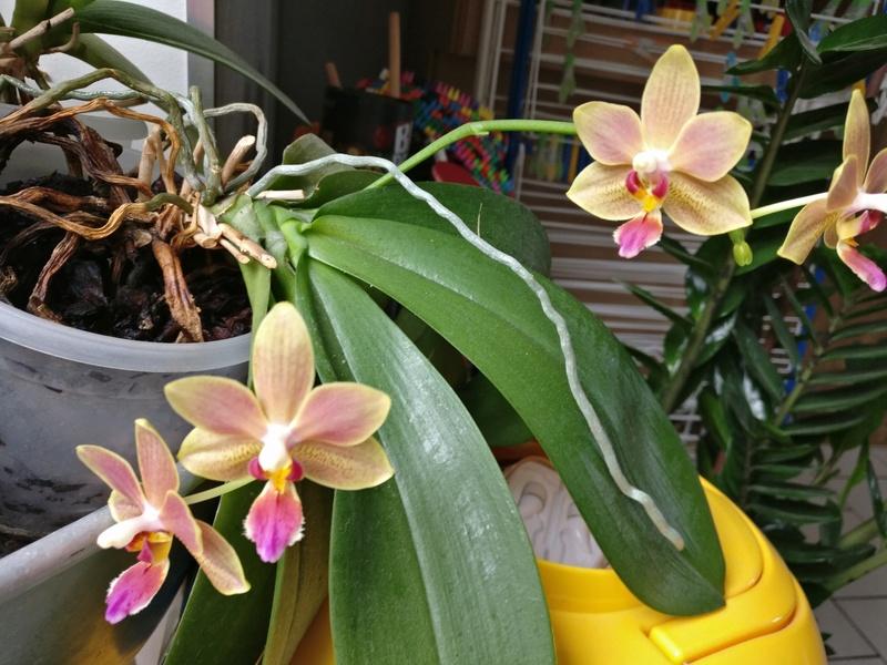 phalaenopsis orianne Img_2050
