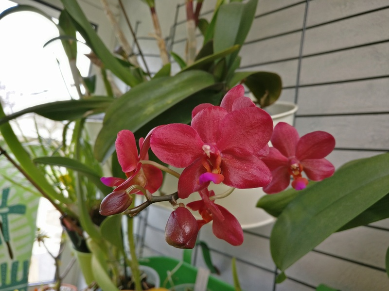 phalaenopsis piccolo red Img_2051