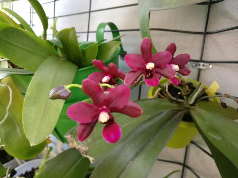 phalaenopsis violet foncé Img_2052