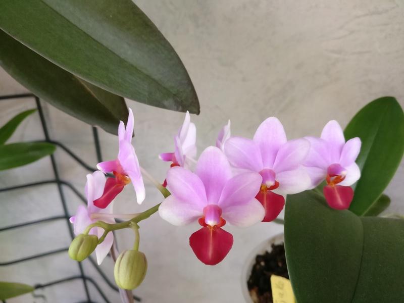 Doritaenopsis jia ho cerise x lobbii Img_2053