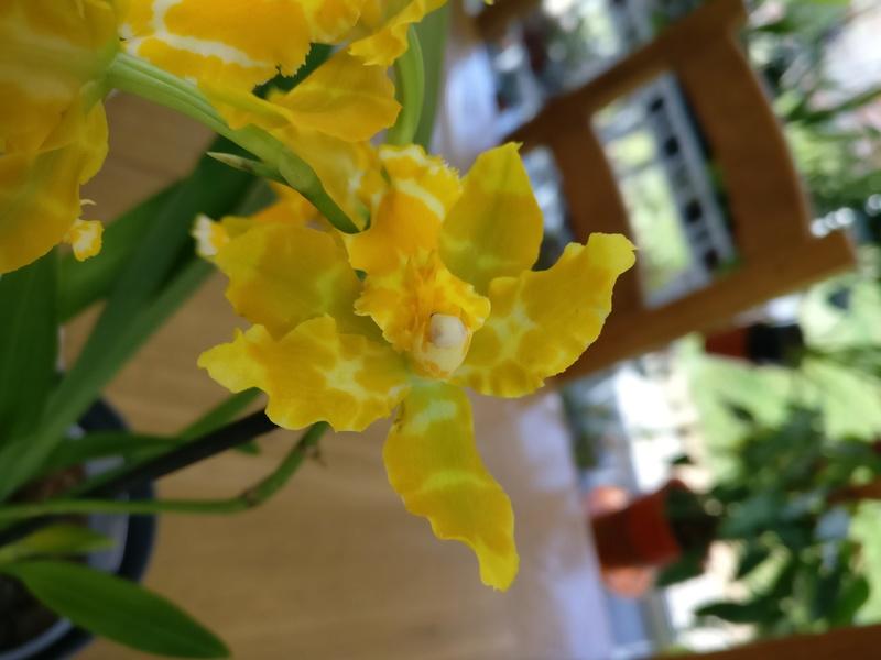 odontoglossum hybride Img_2066
