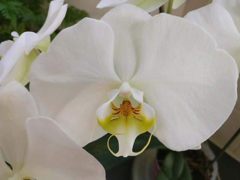 phalaenopsis blanc a fleurs enooooooooormes - Page 4 Img_2070