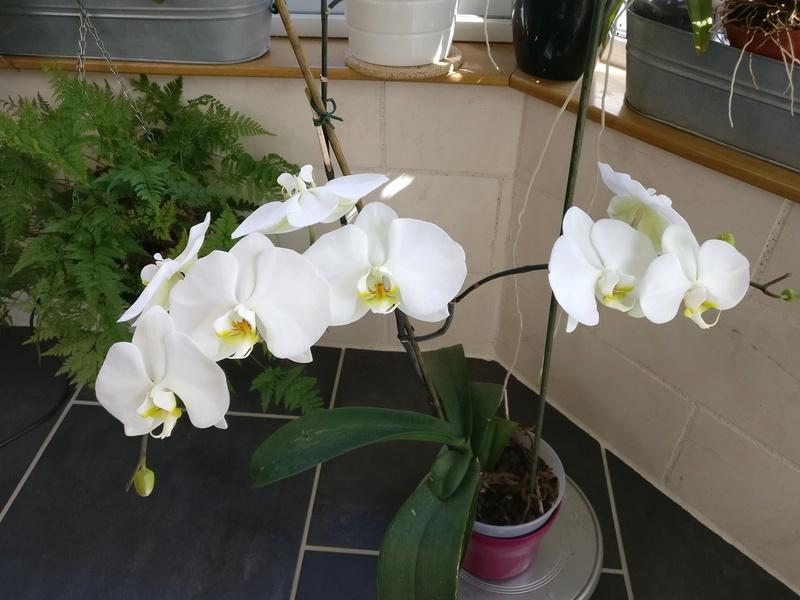 phalaenopsis blanc a fleurs enooooooooormes - Page 4 Img_2071