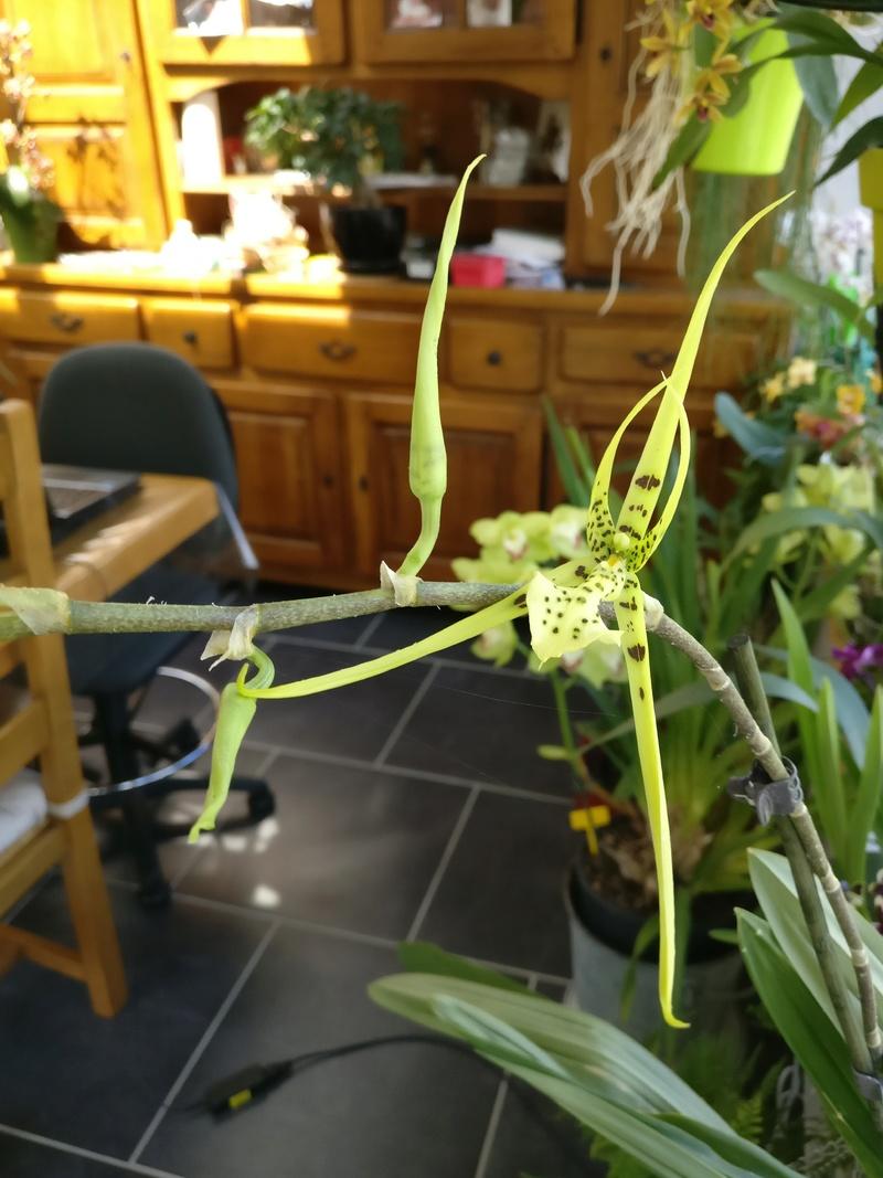 brassia (verrucosa x maculata) x verrucosa Img_2082