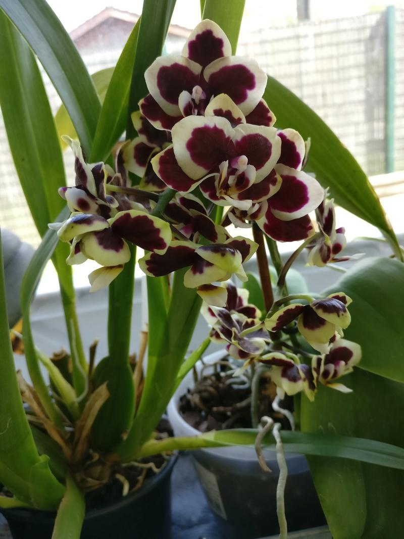 phalaenopsis costarica - Page 2 Img_2083