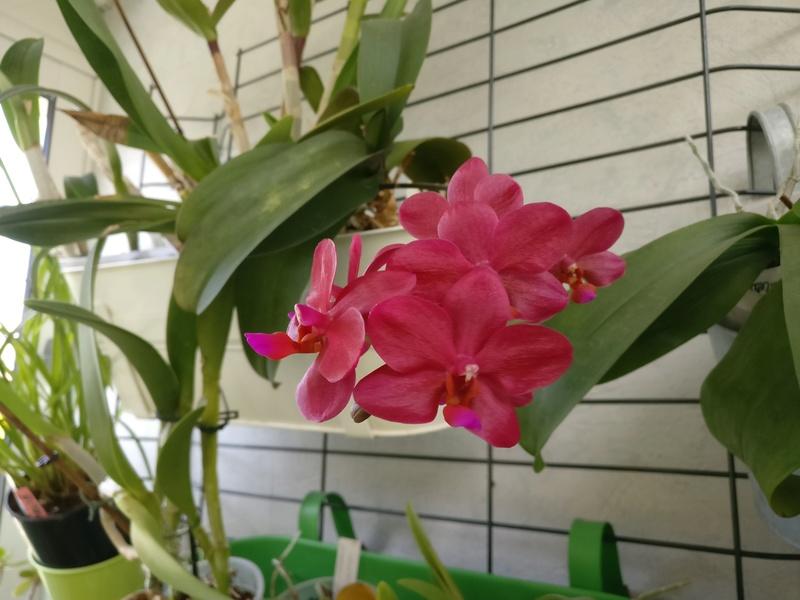 phalaenopsis piccolo red Img_2087