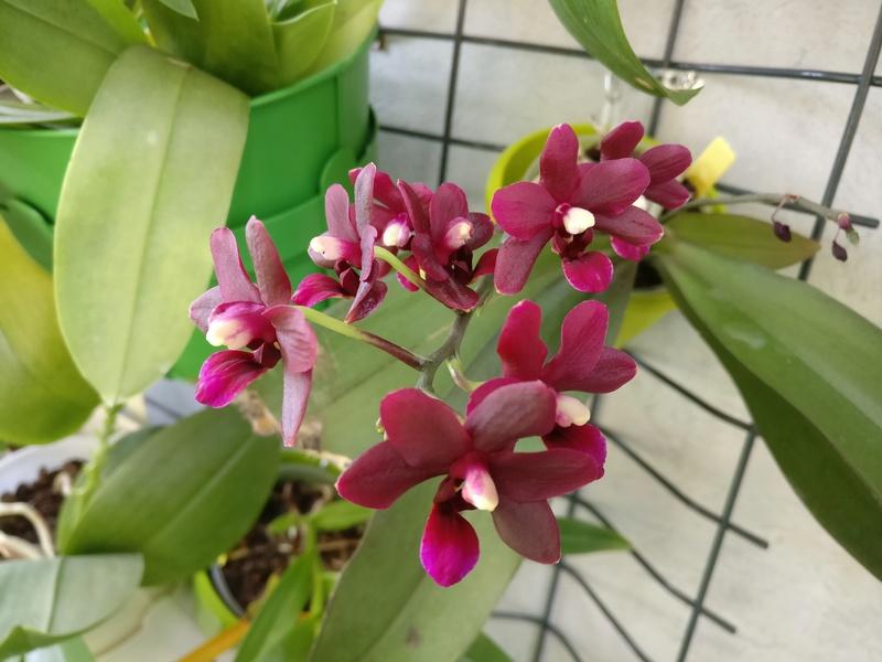 phalaenopsis violet foncé Img_2088