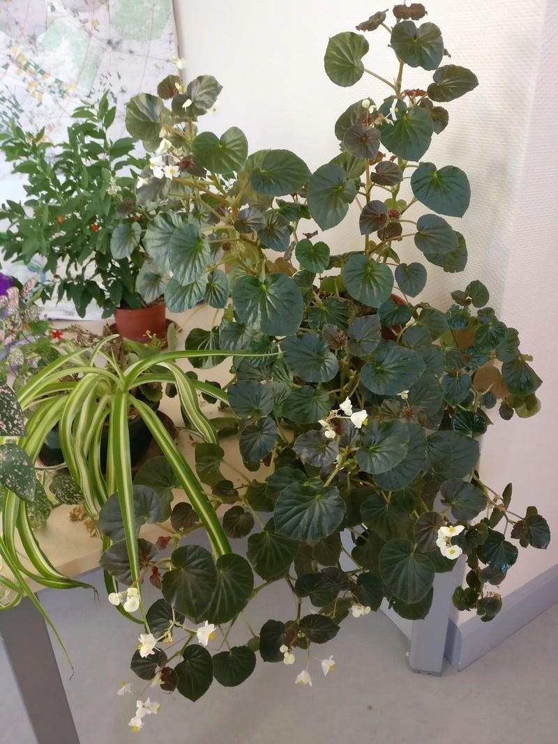 Quelques photos de bégonias en fleurs (ou pas) ici Img_2108