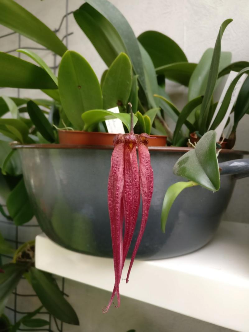 bulbophyllum plumatum x longissimum Img_2121