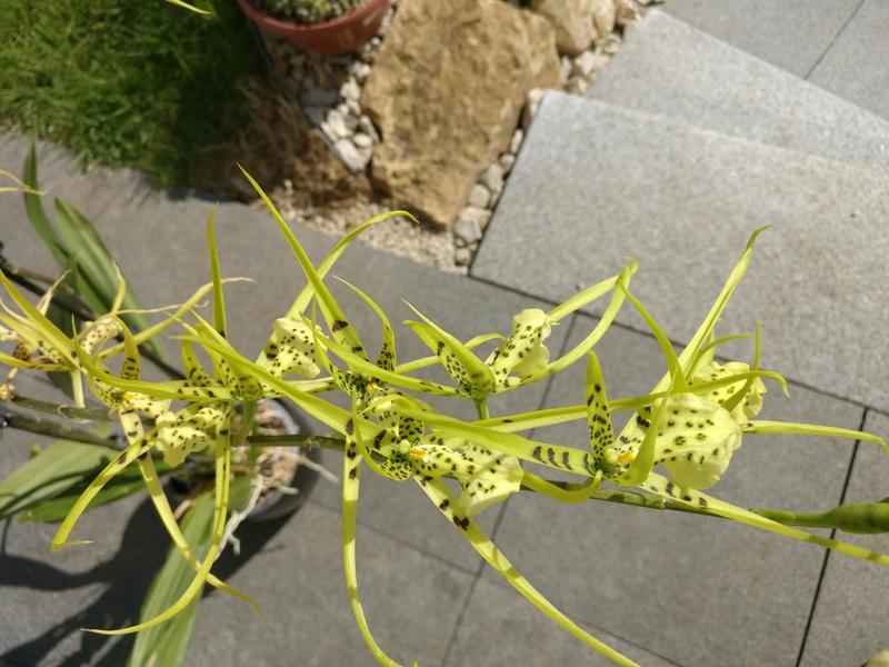 brassia (verrucosa x maculata) x verrucosa Img_2181