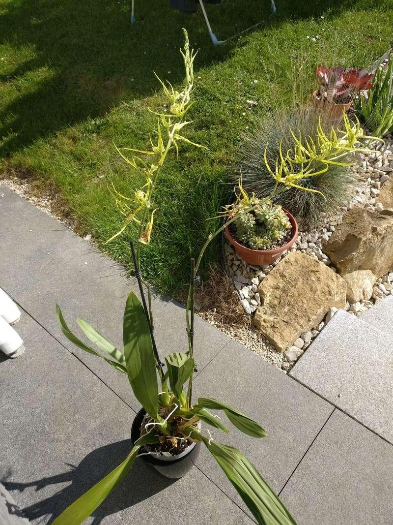 brassia (verrucosa x maculata) x verrucosa Img_2182