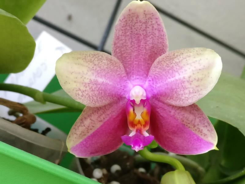 phalaenopsis liodora Img_2183