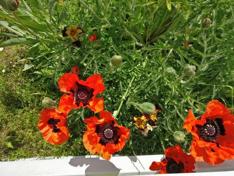 mes pavots du jardin Img_2189