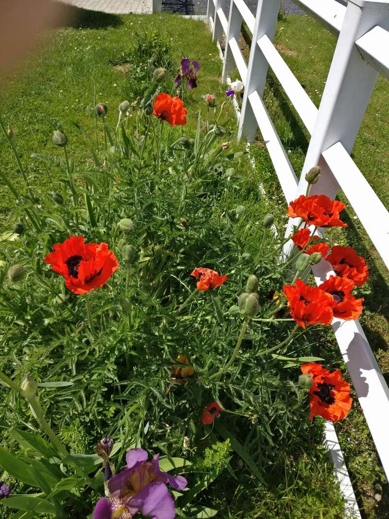 mes pavots du jardin Img_2190