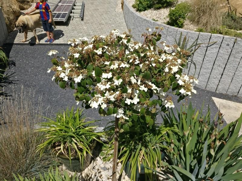 mes pavots du jardin Img_2191