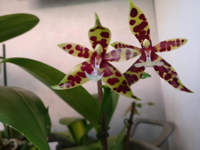 Phalaenopsis Pantherina dark Img_2213