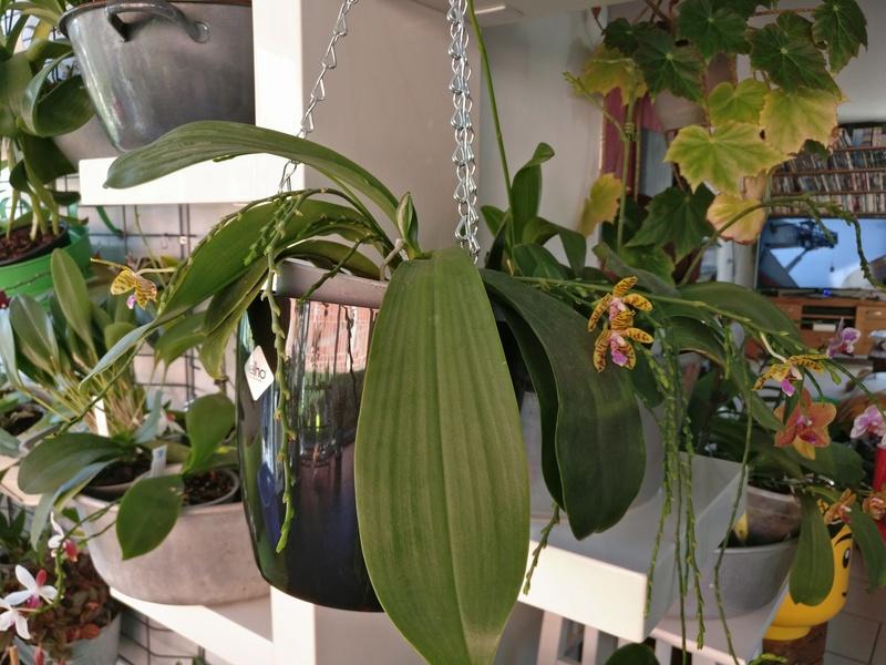 phalaenopsis fasciata x mariae Img_2215
