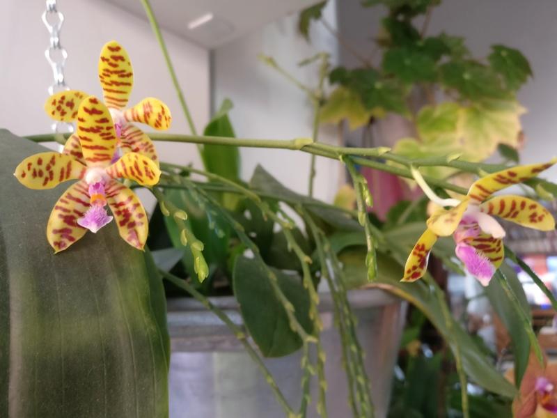 phalaenopsis fasciata x mariae Img_2216