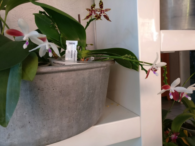 phalaenopsis tetraspis c1 Img_2227