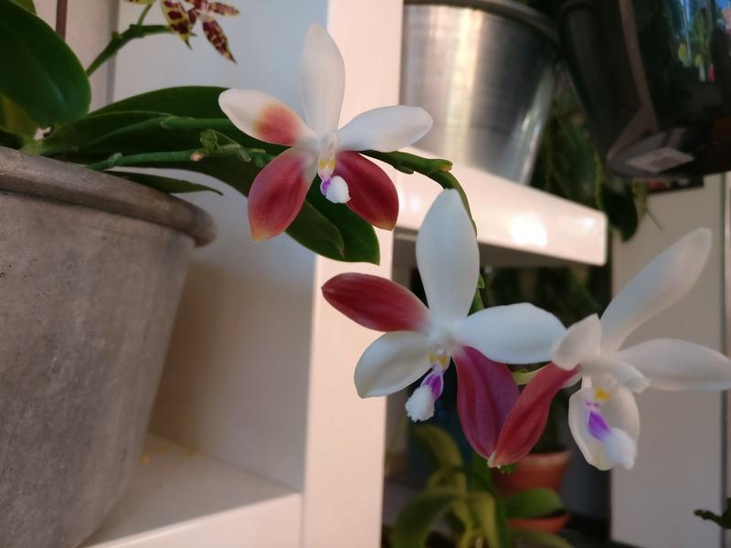 phalaenopsis tetraspis c1 Img_2228