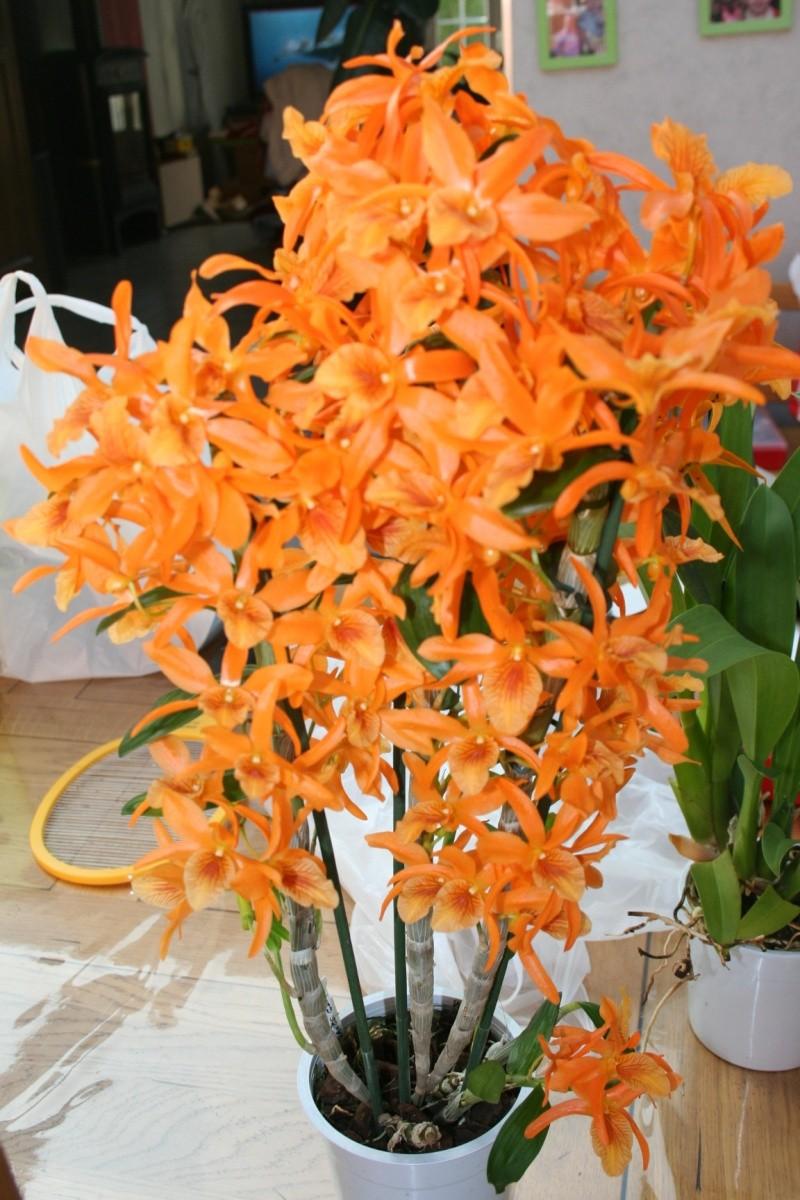 Dendrobium Stardust orange Img_5611