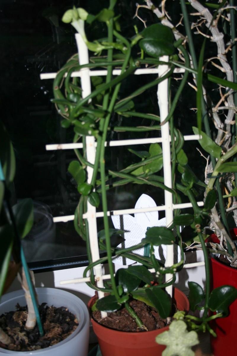 ceropegia sandersonii Img_7423