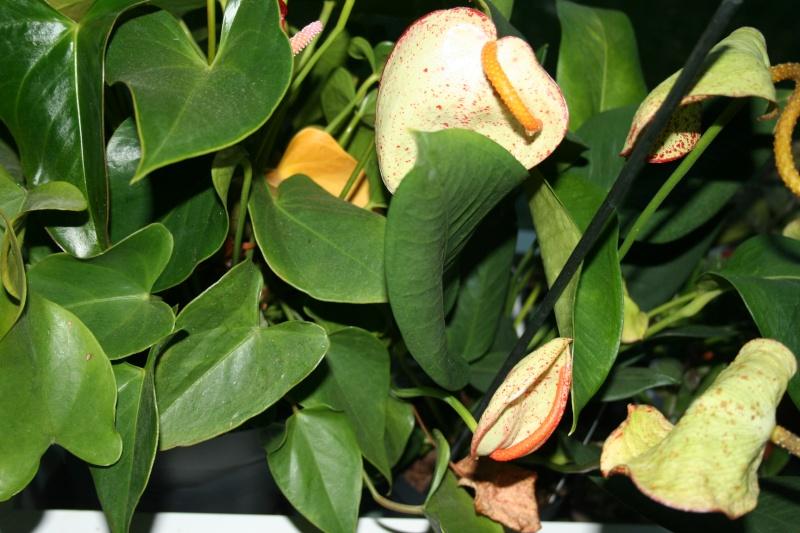 anthurium scherzerianum Img_7426