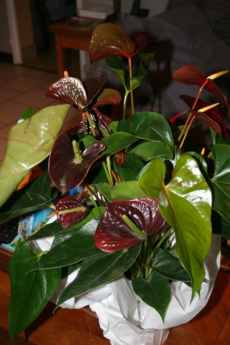 Anthurium black Img_7510