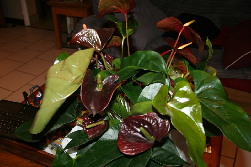 Anthurium black Img_7511