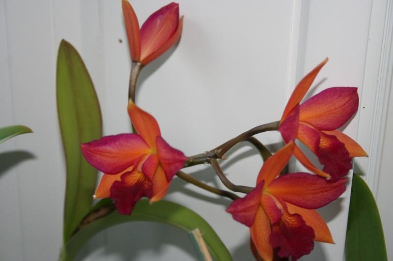 cattelya hybride  jaune/rose Img_7513