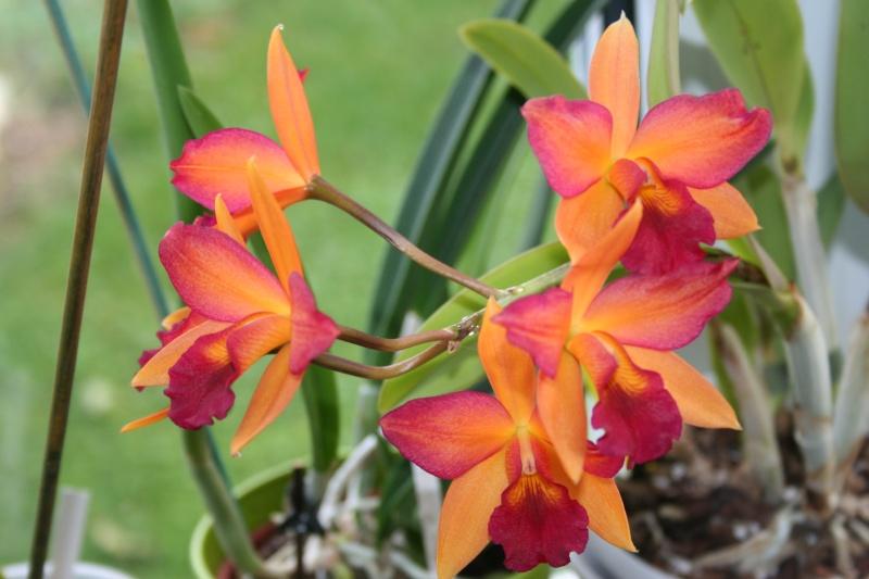 cattelya hybride  jaune/rose - Page 2 Img_7542