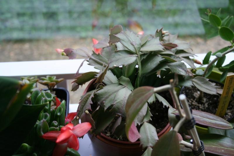 cactus de noel de mamie Img_7544
