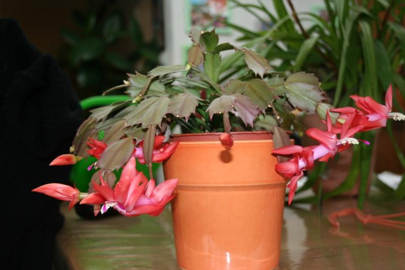 cactus de noel de mamie Img_7617