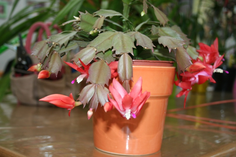cactus de noel de mamie Img_7618