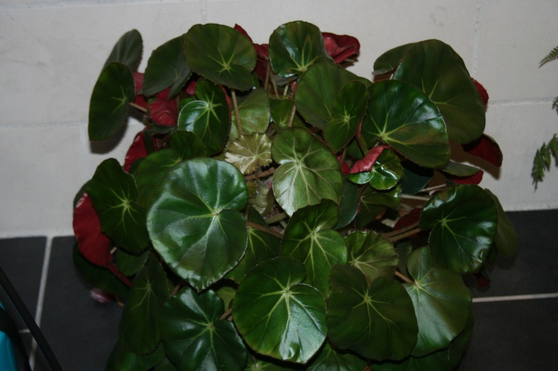 Bégonia 'erythrophylla' - Page 8 Img_7751