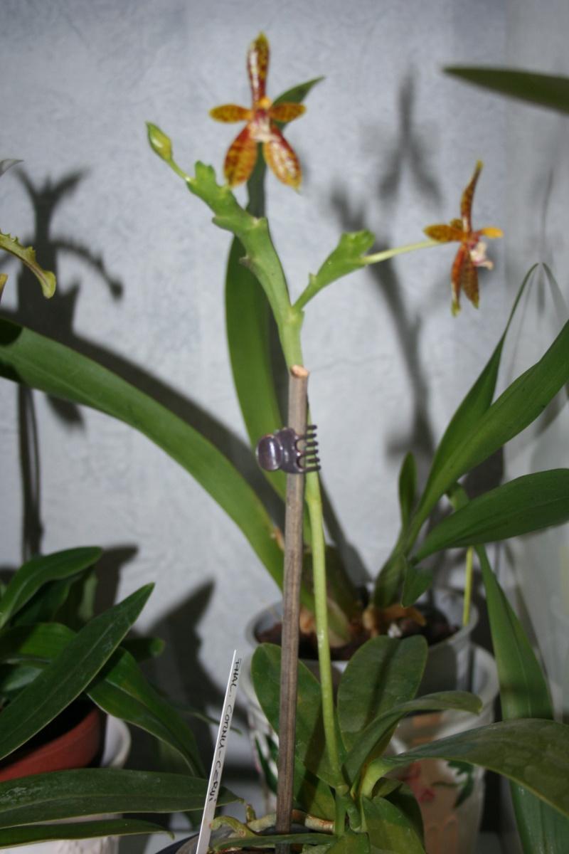 phalaenopsis cornu cervi  - Page 3 Img_7842